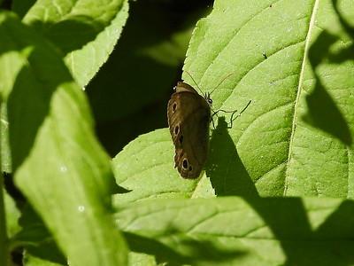 Little Wood Satyr (Megisto cymela)