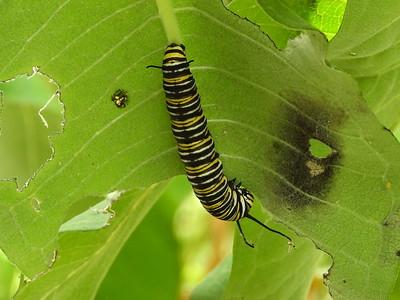 Monarch (Danaus plexippus) - larva