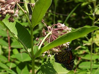 Monarch (Danaus plexippus) - larva and adult