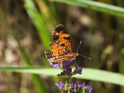Northern Crescent (Phyciodes cocyta)