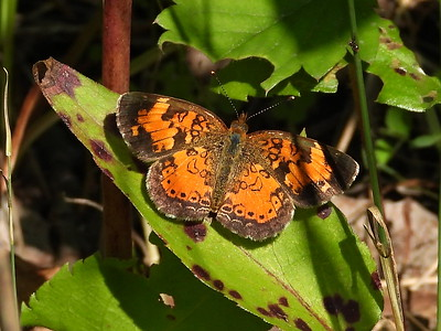 Northern Crescent (Phyciodes cocyta) - male