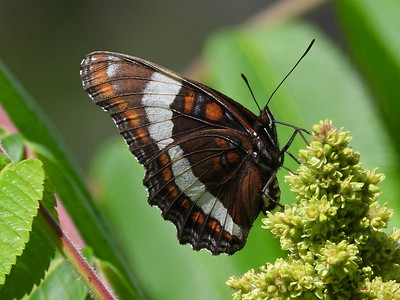 White Admiral (Limenitis arthemis ssp. arthemis) - also known as American White Admiral on iNaturalist