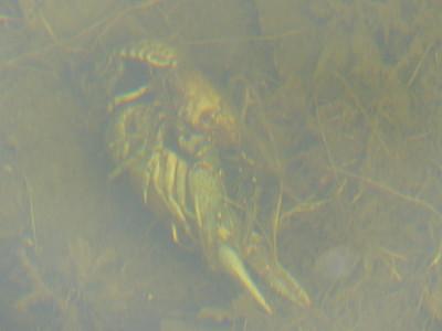 Virile Crayfish - mating