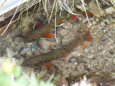 Brook Trout - pair of mature breeders on redd, male near photo top, female below