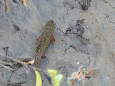"""Brook Trout - estimated to be about 10"""" in length, this female was the largest fish we observed during the spawning survey"""