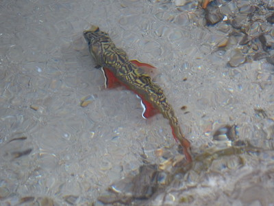 Brook Trout - male