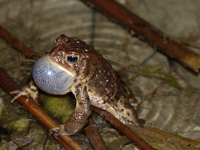 American Toad - male with extended vocal sac during its call to attract females
