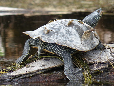 Common Map Turtle
