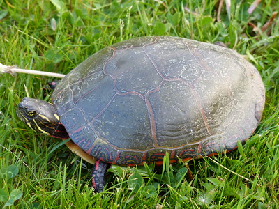 Midland Painted Turtle - note the red stripes on neck and forelegs typical for the Midland subspecies