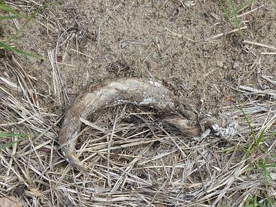Coyote - scat