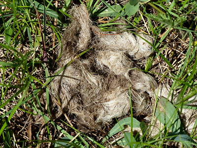 Coyote - scat (several months old, sun-bleached and contains deer hair)