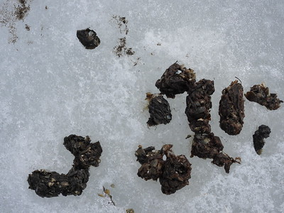 Northern River Otter - scat