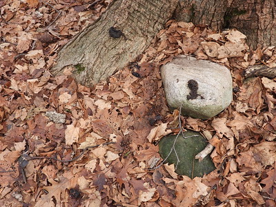 Raccoon - scat, latrine at base of tree
