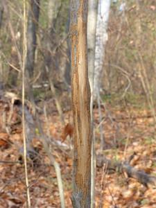 White-tailed Deer - antler rub