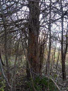 Black Bear - bear tree, claw marks