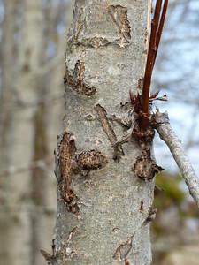 Black Bear - bear tree with claw marks
