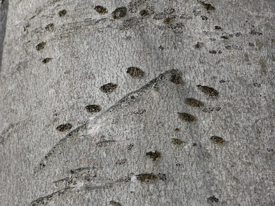 Black Bear - bear tree showing old claw marks