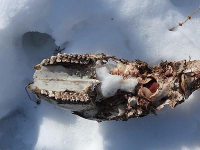 White-tailed Deer - skull