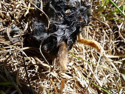 Hairy-tailed Mole - carcass