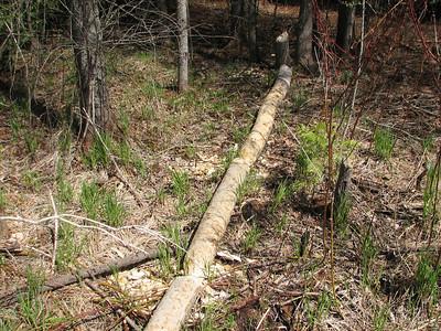 Cut tree felled by Beaver