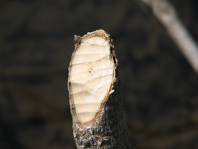 Small cut tree shows teeth marks from Beaver