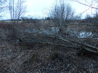 Beaver - cut tree