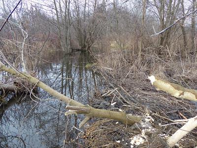 Beaver - dam and cut tree
