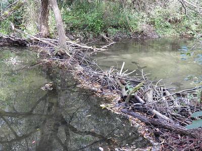 Beaver - dam