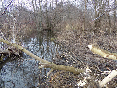 Beaver - dam and cut tree