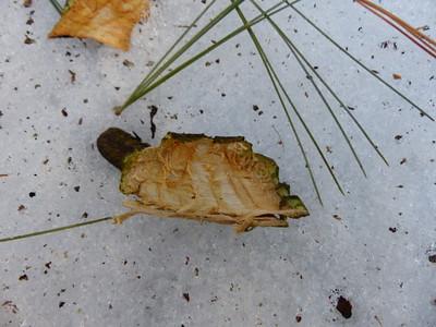 Porcupine - bark chip from debarking