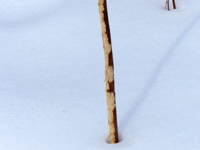 Eastern Cottontail - debarking on Sumac