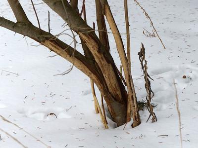 Eastern Cottontail - debarking
