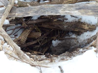 Beaver - den entrance