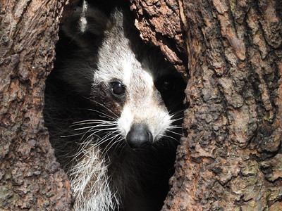 Raccoon - den in tree with adult and young juveniles