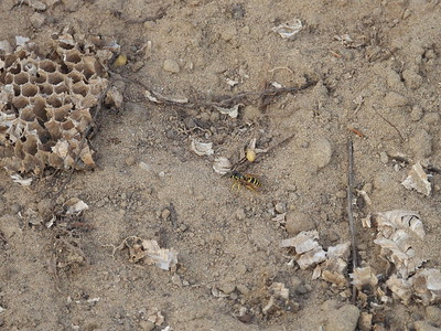 Striped Skunk - dig: dirt and comb scattered on ground plus one adult Eastern Yellowjacket (Vespula maculifrons)