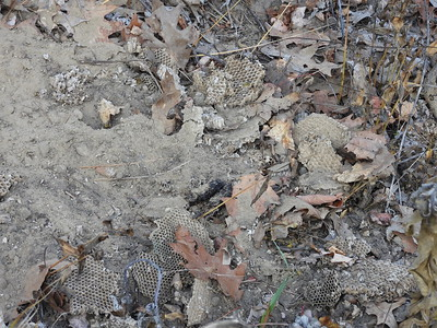 Striped Skunk - dig: paper nest and comb removed by Skunk to consume larvae and adults of the Eastern Yellowjacket (Vespula maculifrons),  scat can also be observed near photo centre