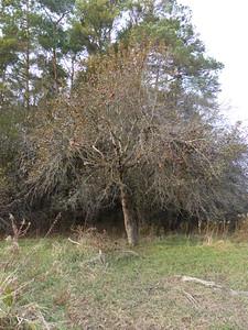 Black Bear - bear tree, feeding on apples