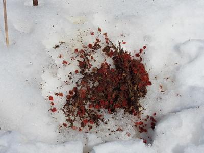 Red Squirrel - evidence of feeding on sumac