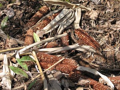Evidence of a corn feast - Raccoon is the culprit