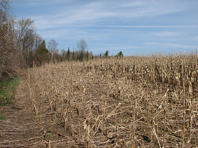 8 rows deep by 100 foot long section of corn destroyed by Raccoon last autumn