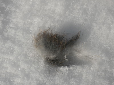Eastern Cottontail - hair removed from rabbit during attack by American Mink