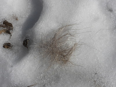 White-tailed Deer - kill site, showing hair