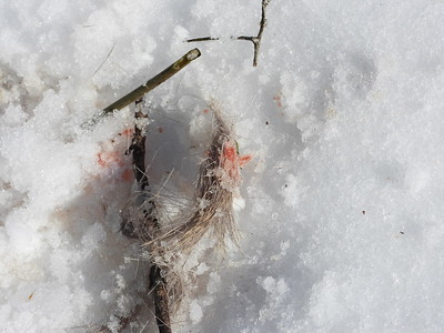 White-tailed Deer - kill site, showing hair and blood