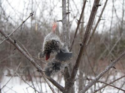 Northern Shrike - kill site evidence of mammal impaled on thorn by the Shrike