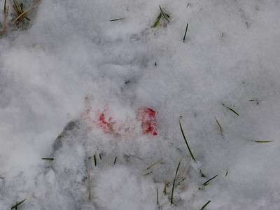 American Mink kills Eastern Cottontail - evidence at kill site, showing blood