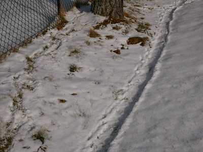 American Mink kills Eastern Cottontail - evidence at kill site, showing drag mark in snow as Mink dragged Cottontail to protected feeding area