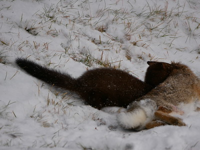 American Mink attacking and killing an Eastern Cottontail - here the Mink is preparing to drag the Cottontail away