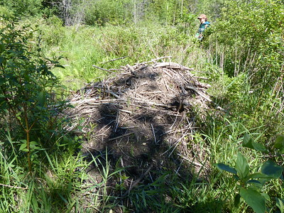Beaver lodge - not currently active