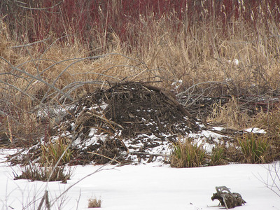 Beaver - new lodge