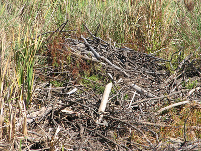 Beaver - pond drying up due to drought, exposed lodge